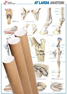 At Anatomi Posteri